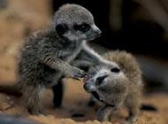 哺乳動物非洲貓鼬圖片