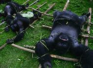 大猩猩被屠的殘忍場面
