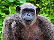 身材高大強壯大猩猩圖片
