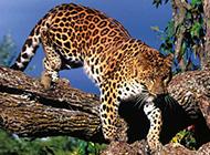 生猛花豹食肉動物特寫