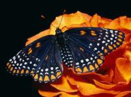 精美色彩斑斓的蝴蝶电脑壁纸