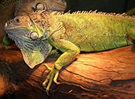 非洲动物野生小蜥蜴图片