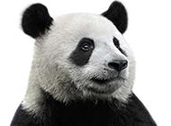 可爱的大熊猫高清图片素材