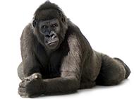 表情搞怪的大猩猩動物壁紙