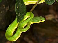 盘曲树干的可怕亚马逊蟒蛇图片