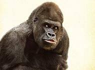 搞笑大猩猩圖片高清特寫