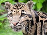 野外求生云豹高清动物图片