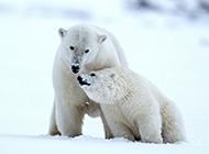 北極熊恩愛情侶的圖片