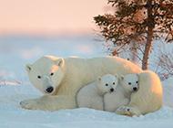 冬天雪地里可愛的北極熊圖片