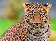 亞洲花豹高清動物圖片壁紙特寫