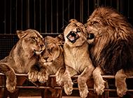 凶猛霸气的狮子高清图片