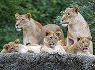 非洲野生动物狮子超清图片