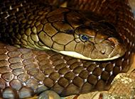 揭秘毒蛇之王:眼镜王蛇的死亡舞步
