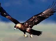 展翅高飞的老鹰特写高清组图