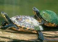 古老的傳奇 烏龜的生活