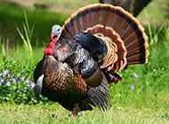 姿态优雅的美国火鸡图片
