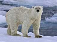 白白胖乎乎的北極熊高清寫真