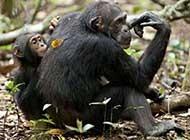 外拍森林 黑猩猩