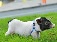 流行宠物日本小香猪图片