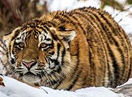 野外发威的老虎摄影图片