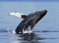 大鲸鱼海面跳跃图片