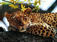 亞洲花豹森林抓拍圖片