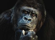 可愛大猩猩圖片表情逗趣