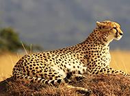 眺望远方的非洲豹子图片