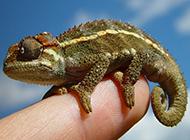 小巧高贵的宠物蜥蜴图片