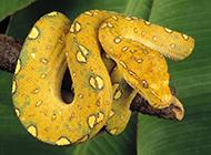 冷血吓人的黄金蟒蛇图片