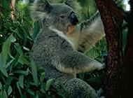 性格溫和的澳大利亞考拉組圖