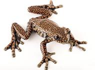 盘点十大两栖生物 新物种艳丽蹼足火蜥蜴