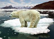 北極熊圖片可愛雪地動物壁紙