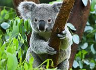 澳洲考拉圖片模樣呆萌溫順