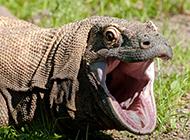凶猛且带剧毒的科莫多巨蜥蜴图片