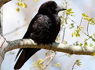 羽翼丰满的乌鸦图片大全