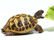 可愛寵物巴西小烏龜精美圖片
