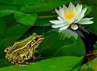 荷塘可愛的小青蛙圖片