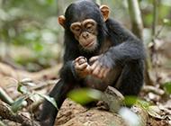 樹林玩耍的可愛大猩猩圖片