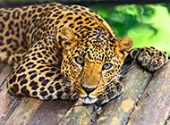 眼神犀利兇猛的非洲花豹圖片