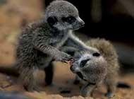 可爱的猫鼬野外生活高清图片