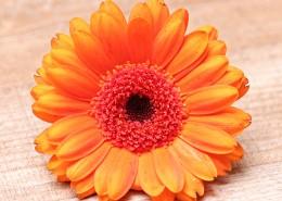 橙黃色的非洲菊圖片_10張
