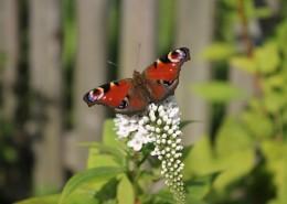 漂亮的孔雀蝴蝶圖片_13張