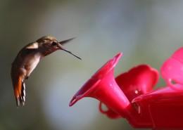 玲瓏小巧的蜂鳥圖片_13張