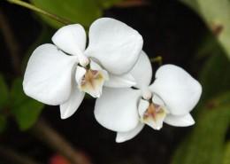 白色的蝴蝶兰图片_16张