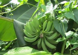 树上未采摘的香蕉图片_14张