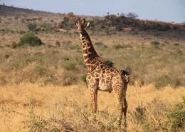 世界最高动物长颈鹿图片_11张