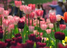 美丽的郁金香花丛图片_11张