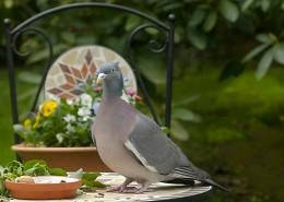 一只灰色鴿子圖片_13張
