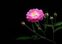 漂亮的蔷薇图片_20张